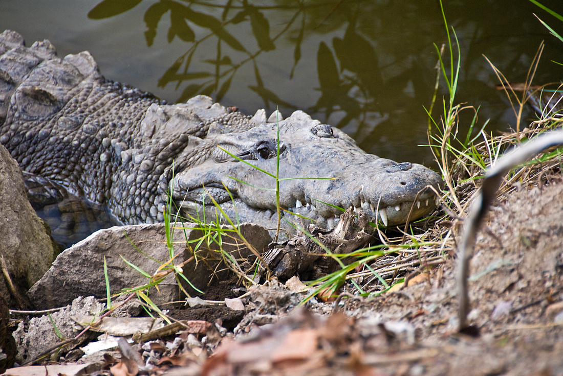 One of the local crocodiles.